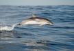 Cetacis. Dofí tacat de l'Atlàntic.