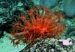Què és el Coral Vermell?