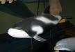 Cetacis. Dofí de musell blanc