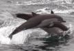Cetacis. Dofí de fraser