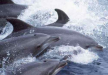 Cetacis. Dofí mular