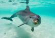 Cetacis. Dofí comú