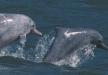 Cetacis. Dofí geperut de l'Indo-Pacífic