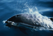 Cetacis. Dofí de flancs blancs de l'Atlàntic