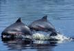 Cetacis. Dofí tucuxi
