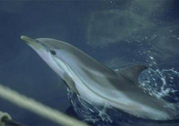 Cetacis. Dofí llistat