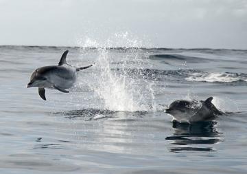 Cetacis. Dofí tacat tropical