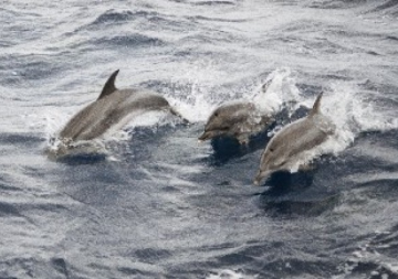 Cetacis. Dofí rostrat
